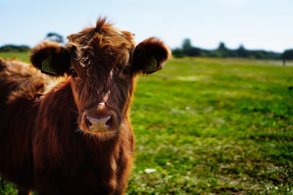 humane treatment of grassfed animals (such as this cow) are one part of the food grown and produced by good food farmers